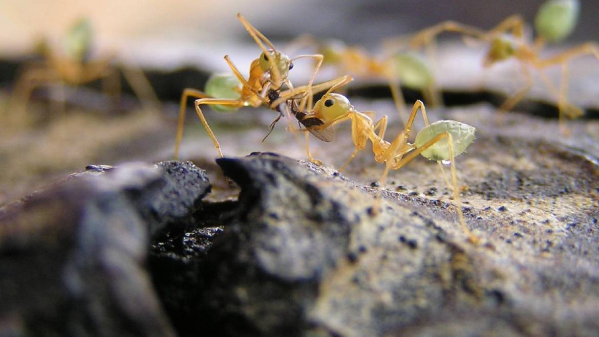Green Ants Control